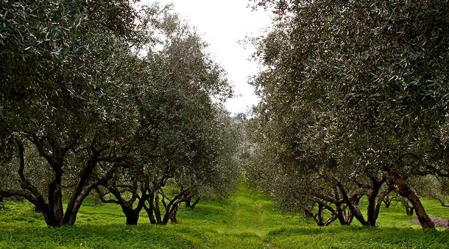 Pakistan olive oil