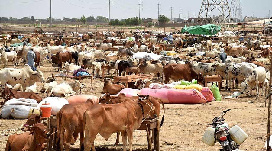 Sindh Eidul Azha