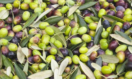 Olive cultivation Pakistan