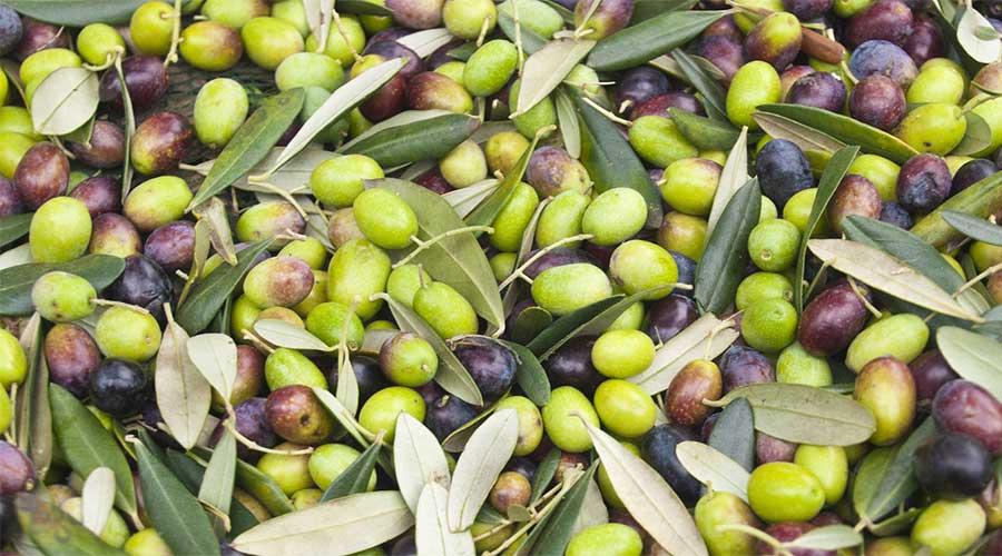 Olive cultivation Pakistan