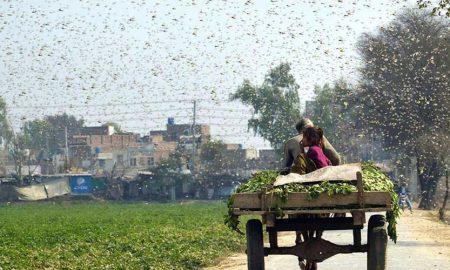 Pakistan Locust