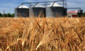 wheat Russia