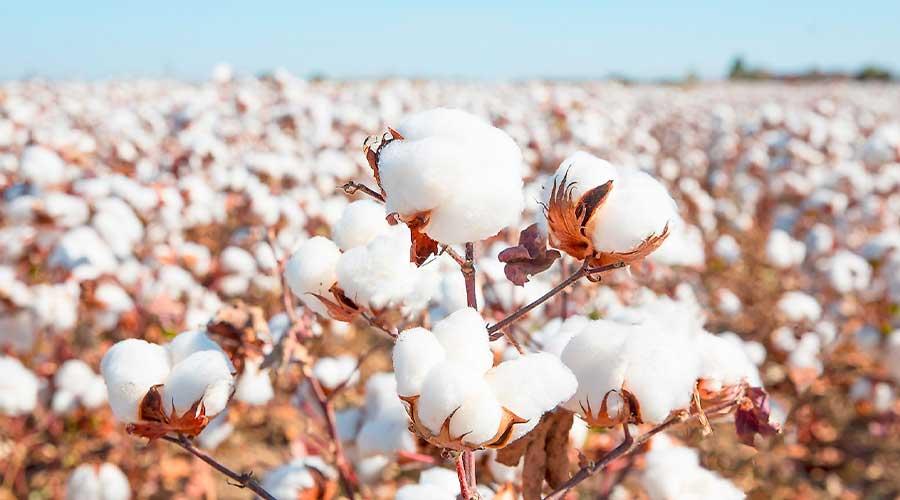 COVID-19 cotton rates