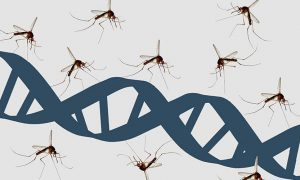 Genetic engineering malaria