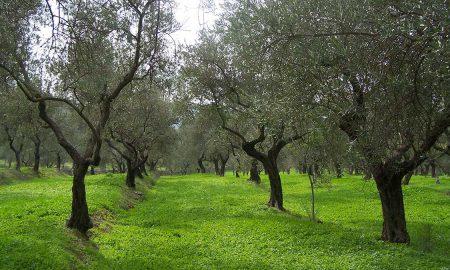 wild olive plants