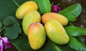 Sugar-free mangoes
