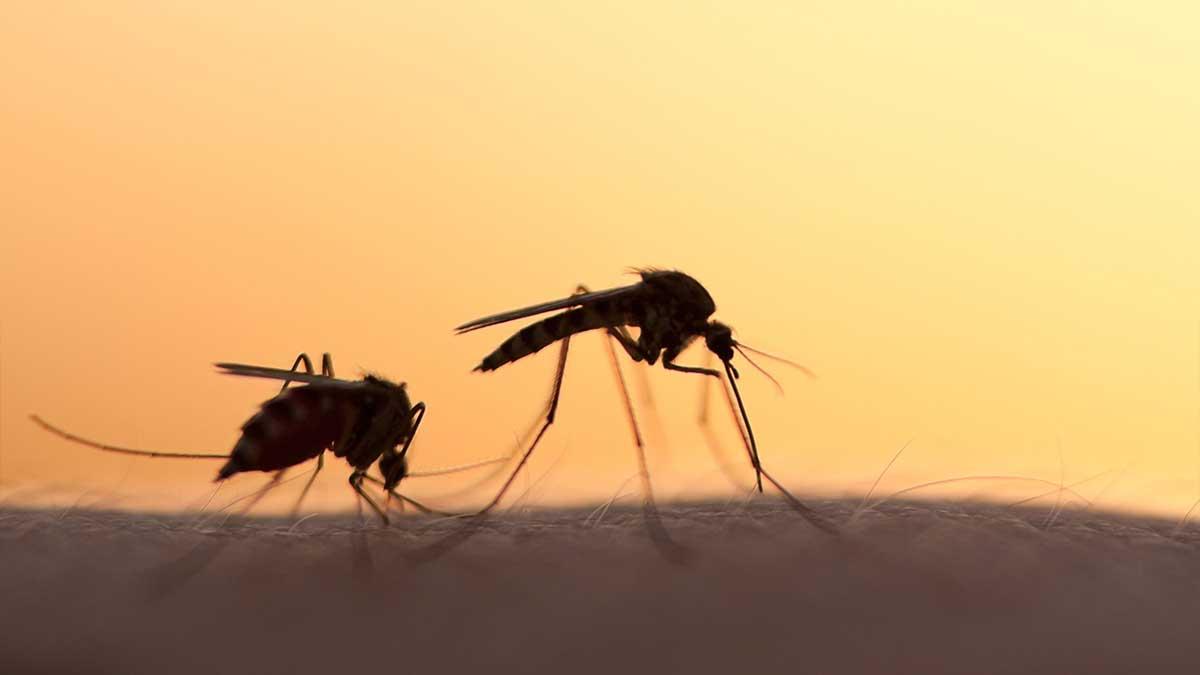 Wolbachia dengue