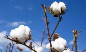 Cotton import bill
