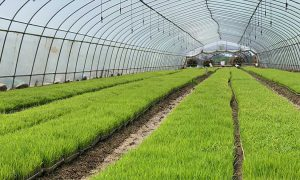 Rice seedlings
