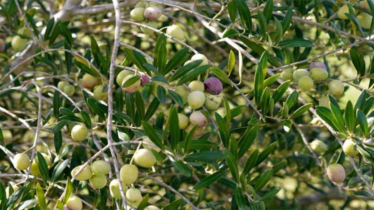 olive cultivation project