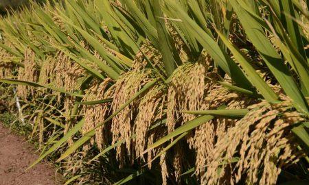 Pakistan China hybrid rice