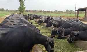 milk farming units